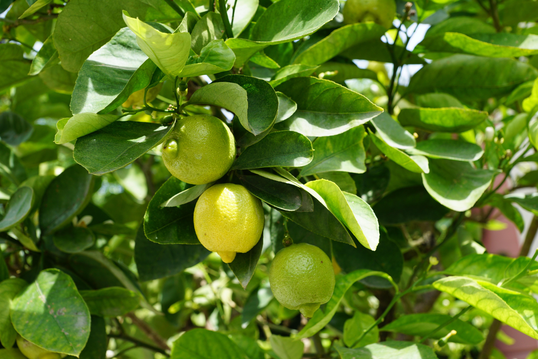Donde madura el limonero diciembre