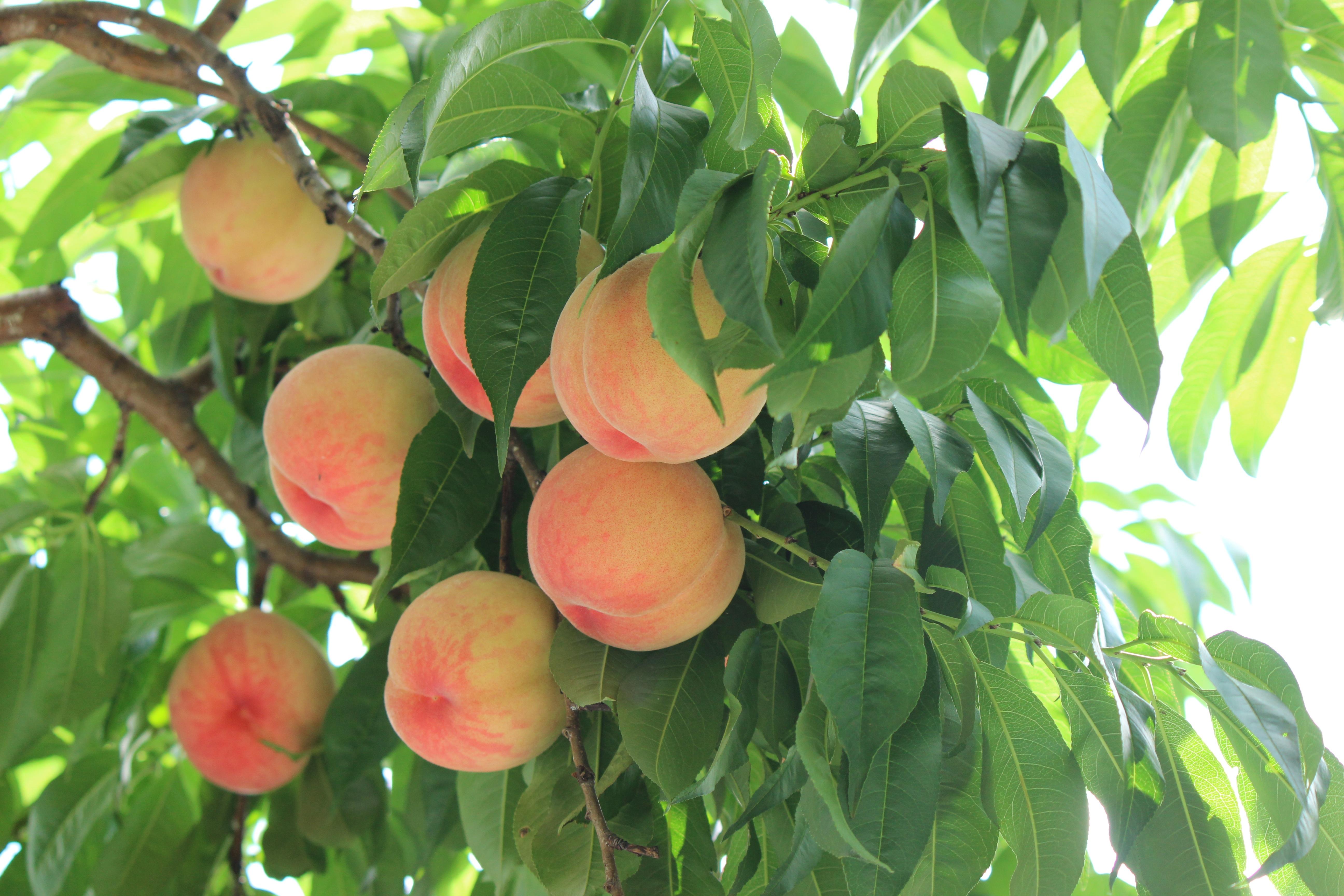 Melocotonero plagas y enfermedades junio 2017 for Plantas frutales