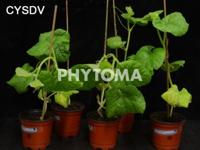 : Watermelon mosaic virus (WMV) y CYSDV