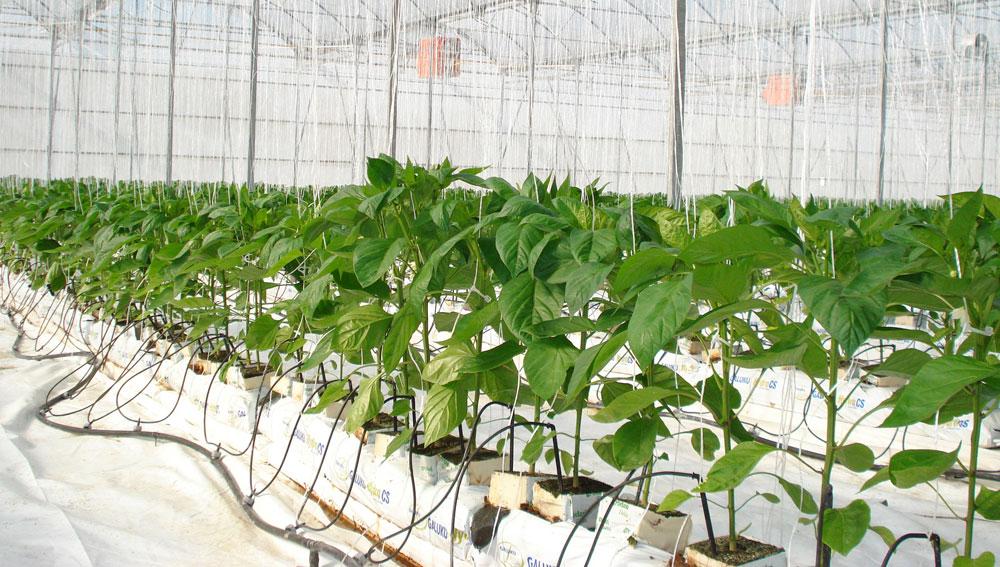 Symborg Demuestra Su Efectividad En Cultivo Hidroponico - Cultivo-hidroponicos